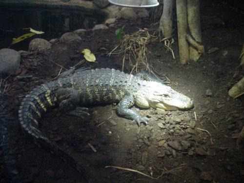 Parc Planet Exotica à Royan. Kids friendly et idéal pour sorties en famille. Crocodile