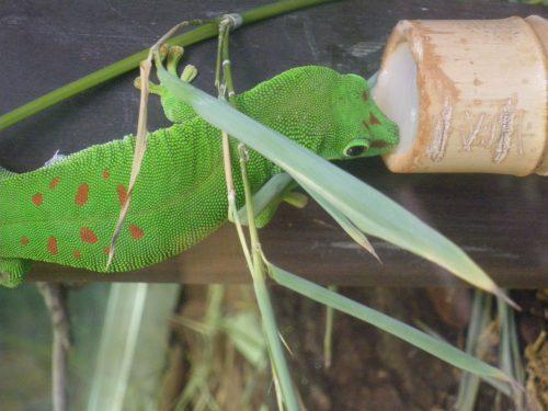 Parc Planet Exotica à Royan. Kids friendly et idéal pour sorties en famille. Gecko vert